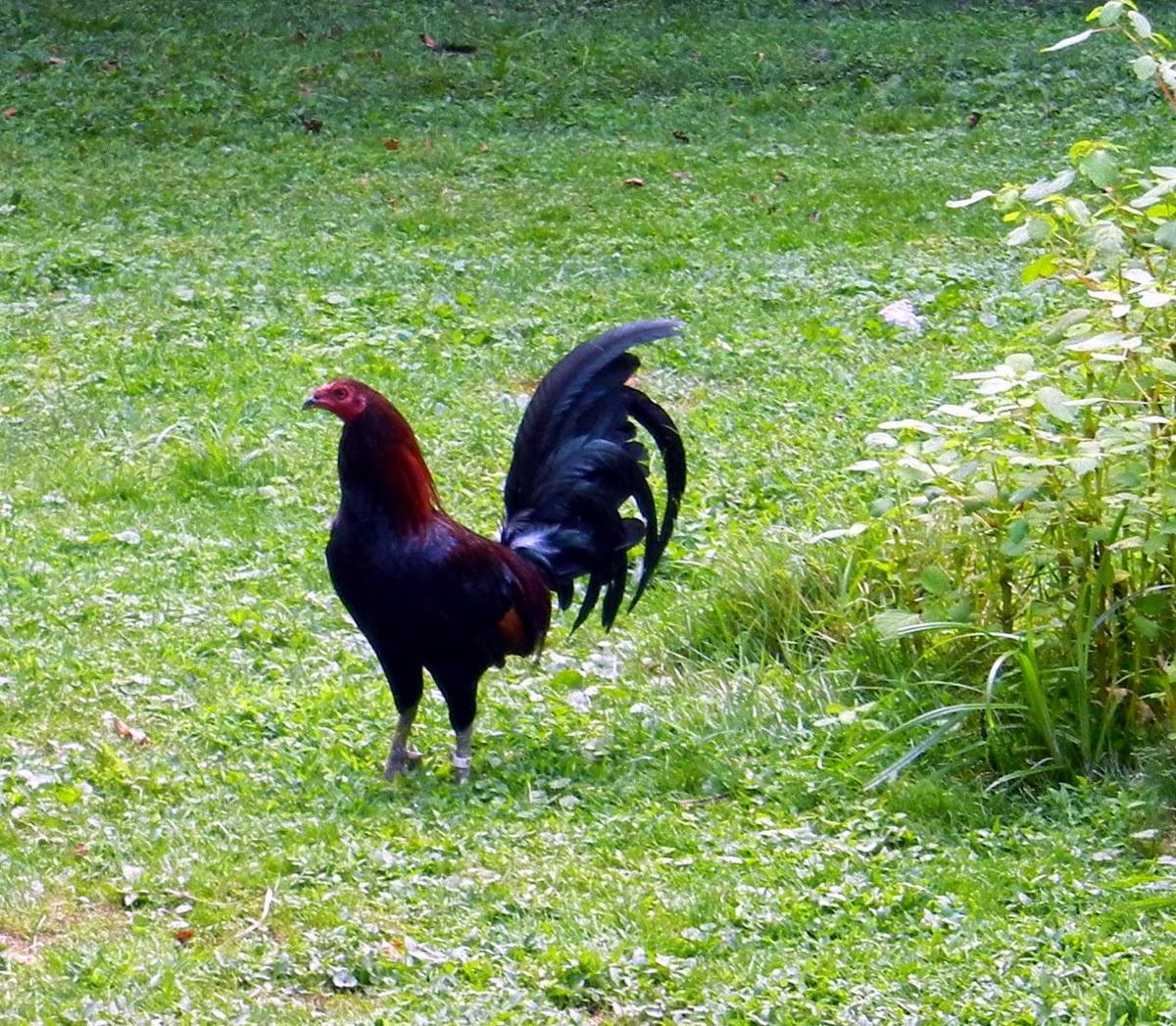 Leiper cock