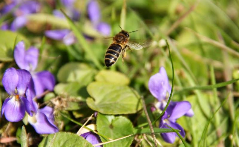 Abeille et fleurs de violettes
