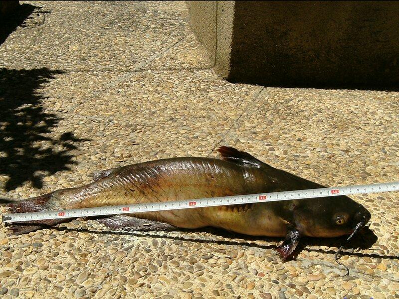 Artes de Pesca: VAMOS A PESCAR EL PEZ GATO NEGRO