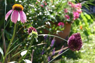 Purpursonnenhut Echinacea purpurea und Kugel-Lauch Allium sphaerocephalon