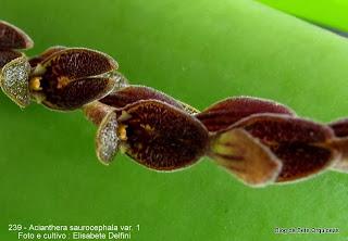 Pleurothallis saurocephala, Humboldtia saurocephala