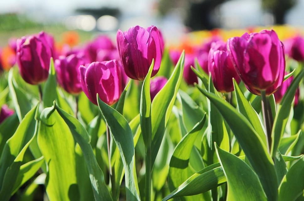 foto frontera tulipanes de color fucsia