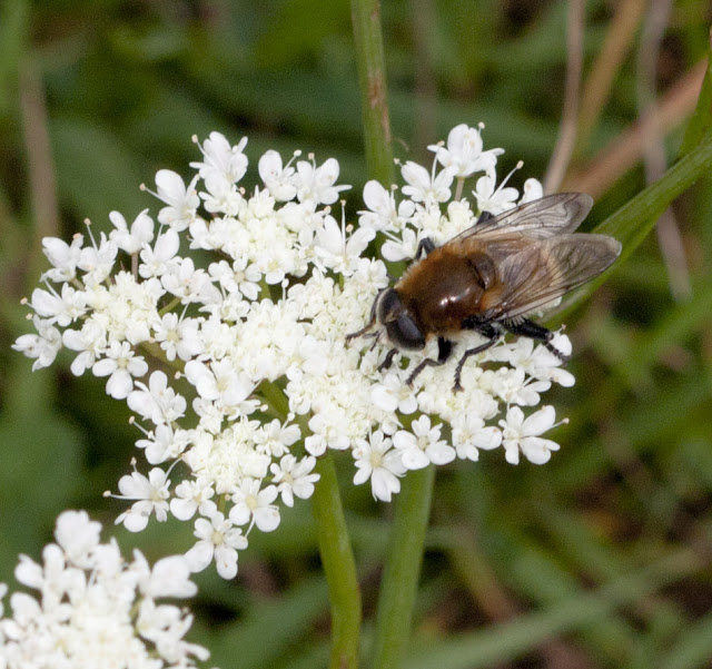 Hoverfly, Merodon equestris, on corky-fruited water dropwort, Oenanthe pimpinelloides.  Bumblebee walk in Jubilee Country Park, 19 June 2011.