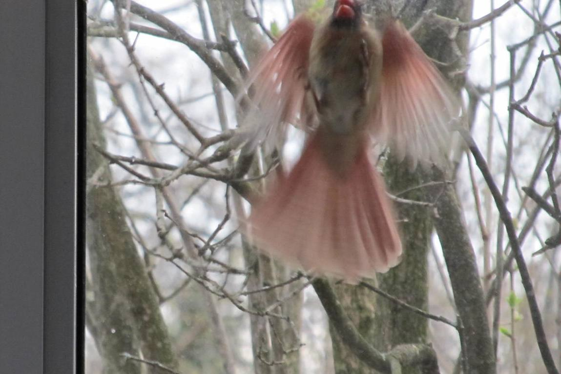 A Patchwork Quilt: Made By Design: She's Her Own Worst Enemy Cardinal Flying Into Window