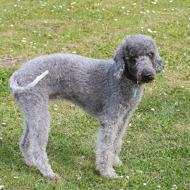 Bedlington Terrier Unique Looking Dog Breeds
