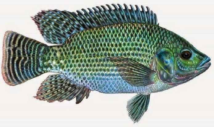 budidaya ikan mujair, klasifikasi ikan mujair, pakan ikan mujair, umpan ikan mujair, kandungan ikan mujair, manfaat ikan mujair
