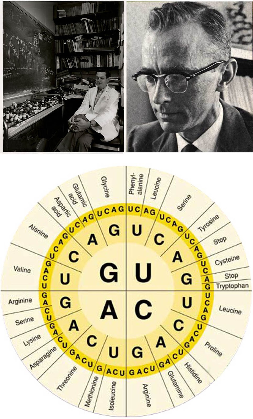 to describe the genetic code as degenerate indicates that