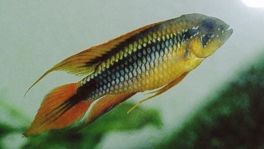 Fish Pictures: Agassizs dwarf cichlid - Apistogramma agassizii