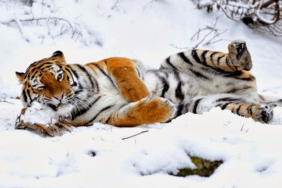 Tigers Amazing Pictures amp Fun Facts on Animals in Nature