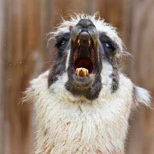 screaming alpaca