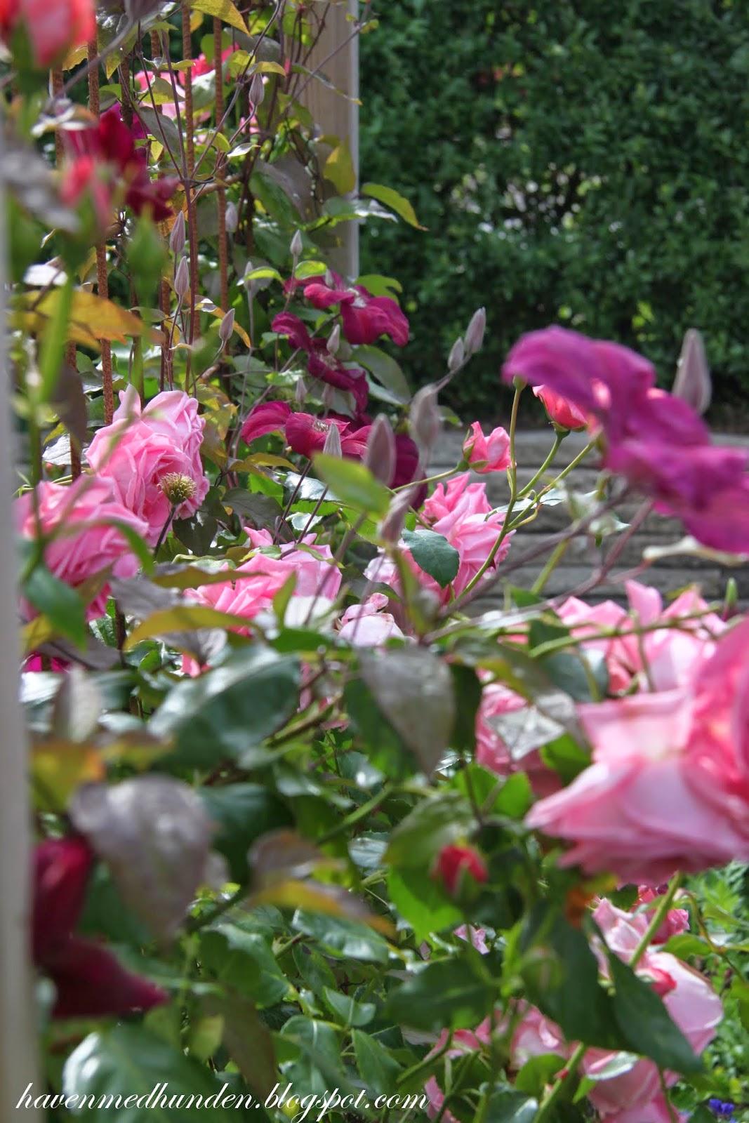 Haven med hunden: et hegn af roser