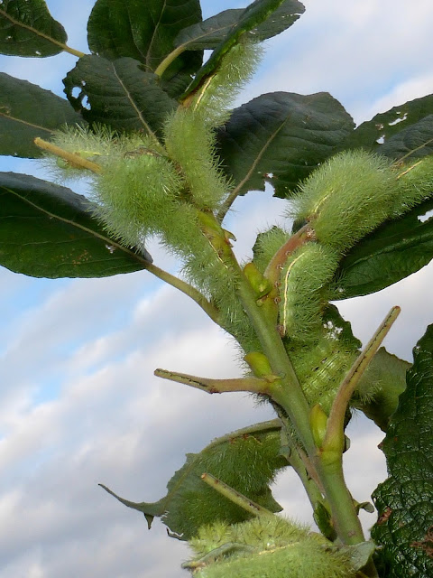 Automeris tridens caterpillar