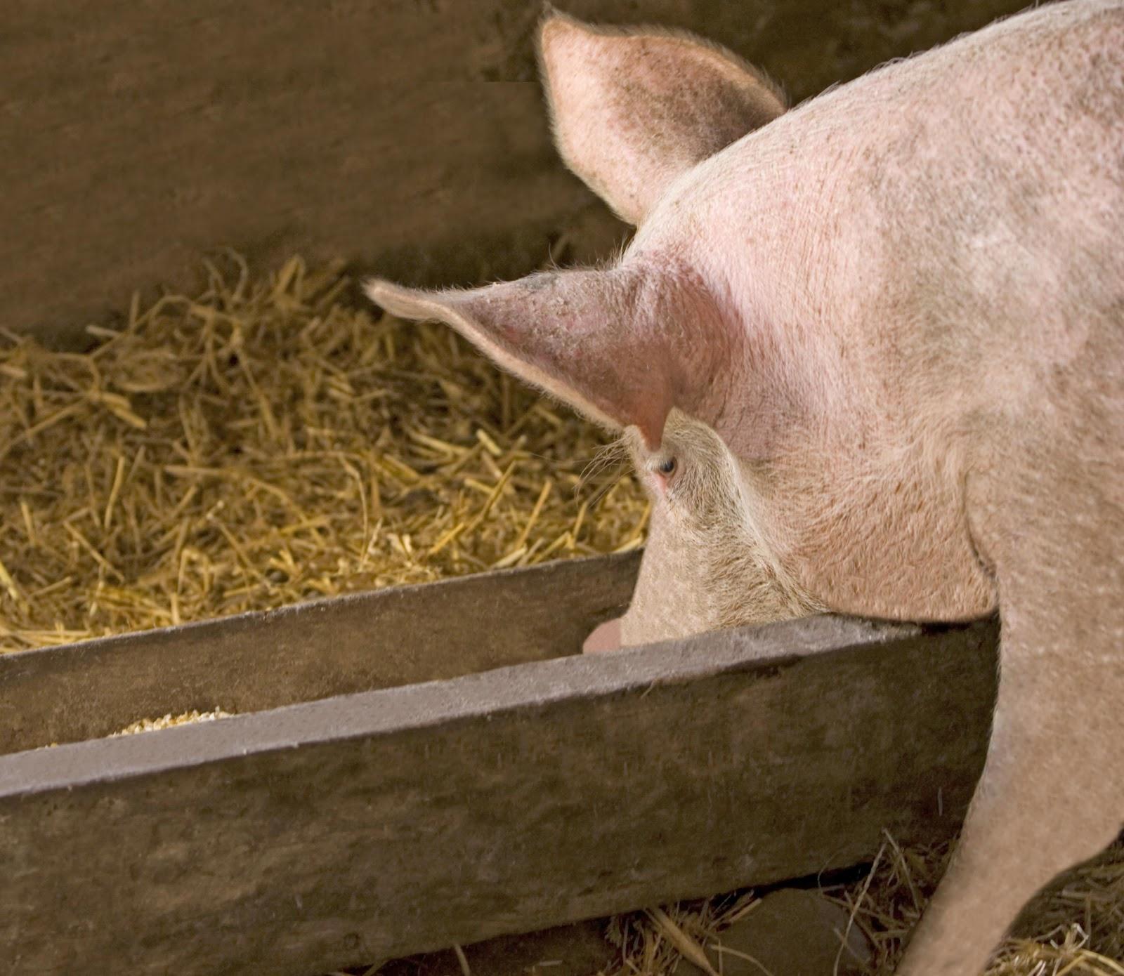 Свинарник на 10 голов своими руками: инструкция, фото и видео 36