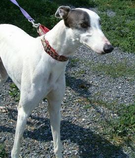 Blue greyhound kennel web photo