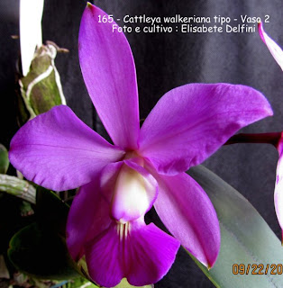 Cattleya walkeriana tipo - vaso 2  do blogdabeteorquideas