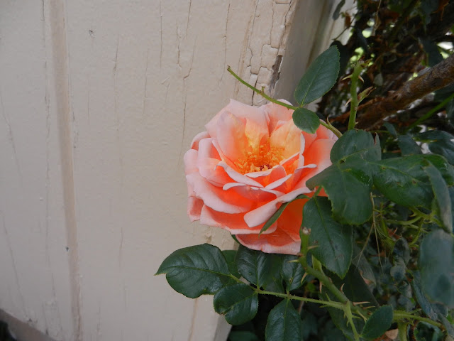 peach rose pictures