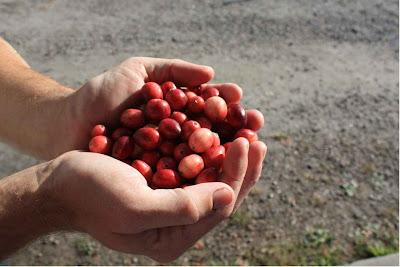 Ripe cranberries