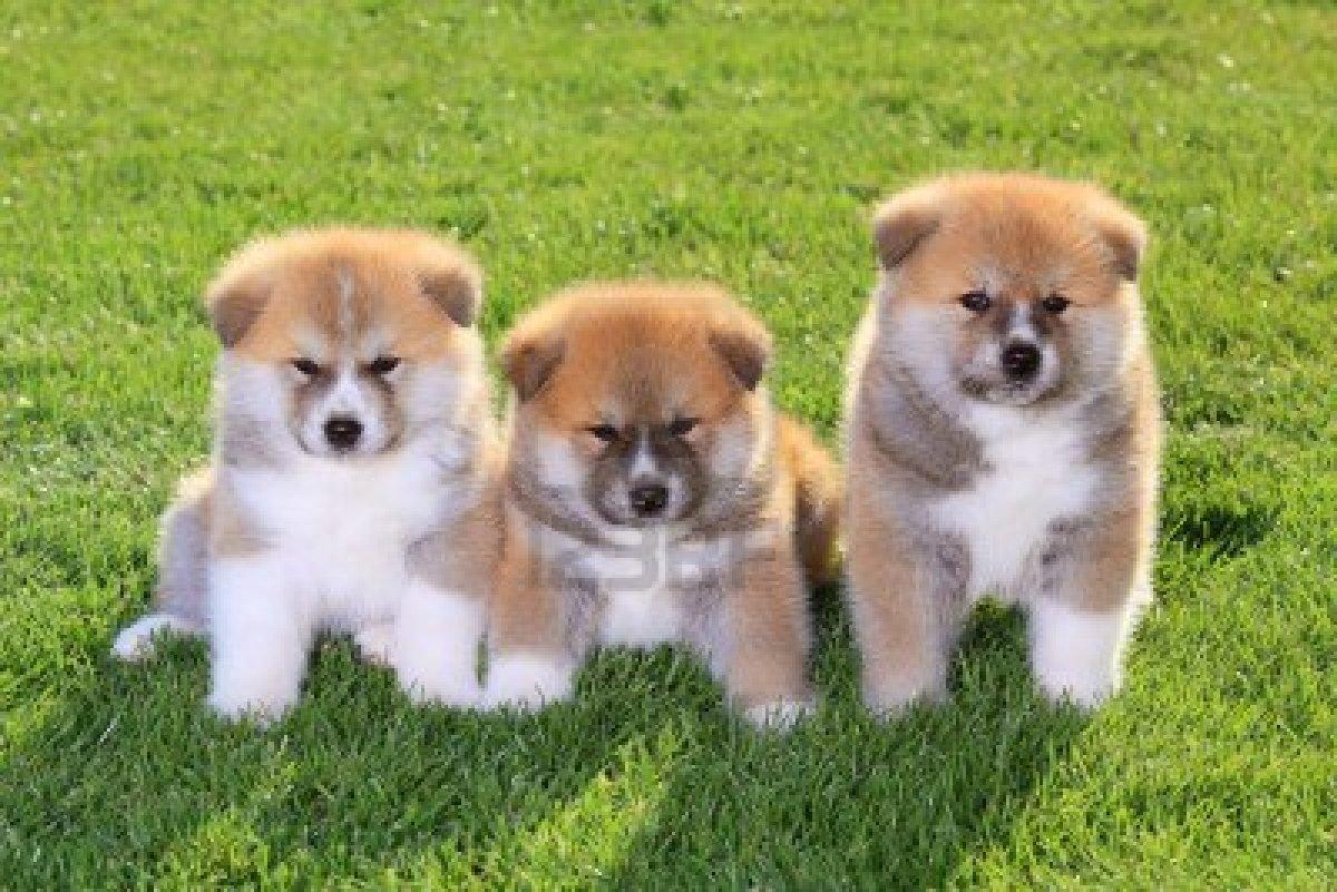 Cute Akita Dogs/Puppies
