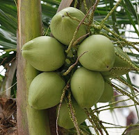 coconut_tree