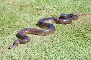 Sucuri animais pantanal
