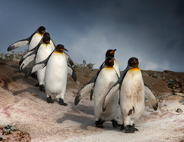 pictures of penguins