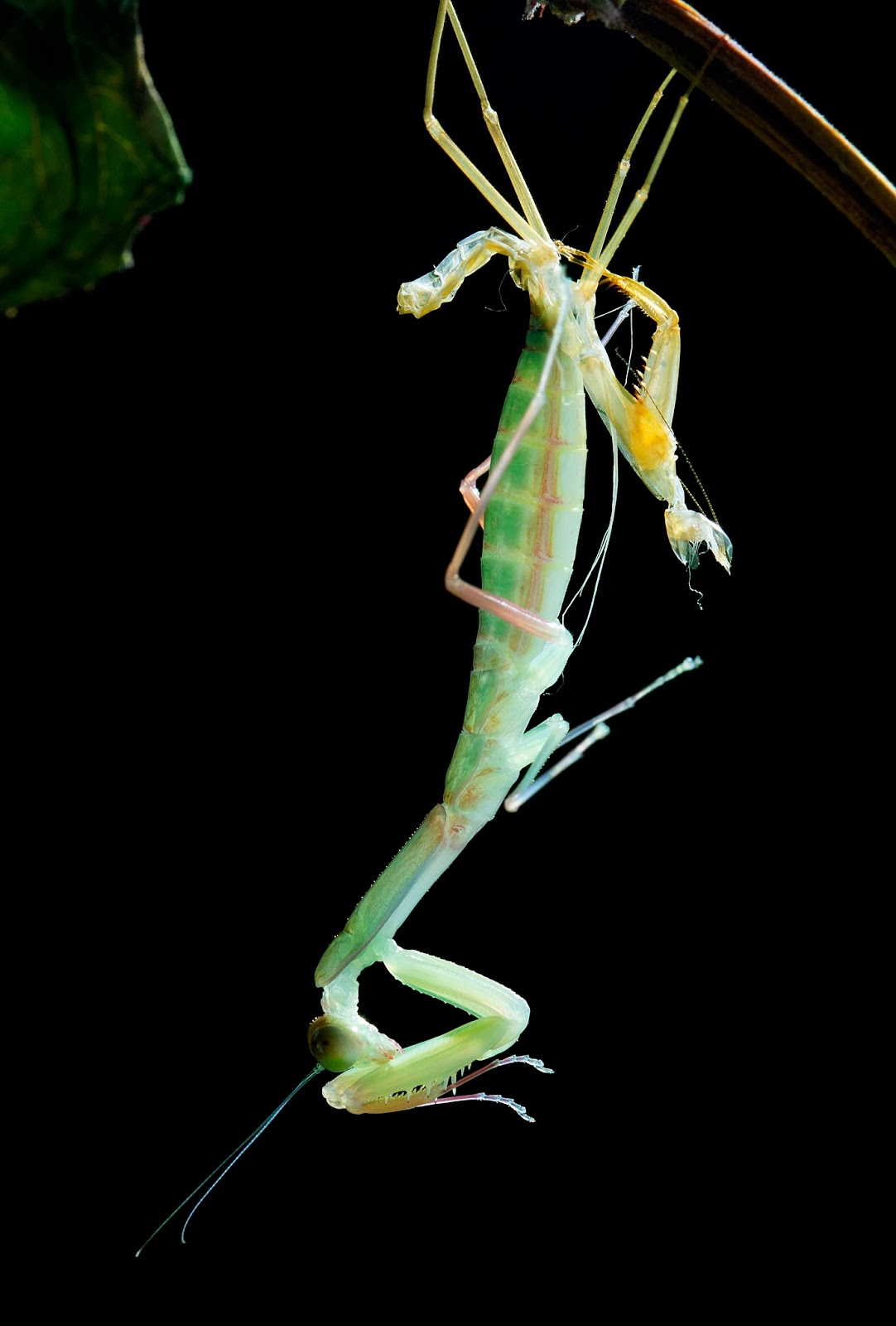 200 Free Praying Mantis amp Insect Images  Pixabay