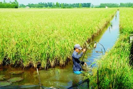 Những lưu ý khi nuôi cá trong ruộng kết hợp trồng lúa