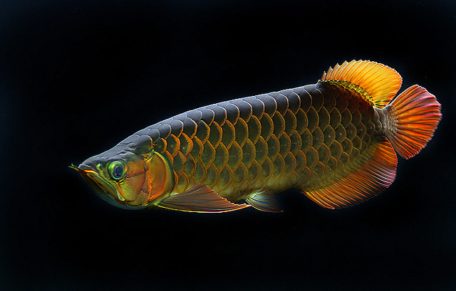 mouth big eyes give the fish we know today. Arowanas come in a range ...