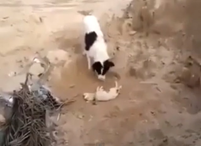 Dog Buries Dead Puppy In Astounding Act Of Mourning [VIDEO]