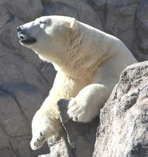 Polar Bear at the Albuquerque BioPark