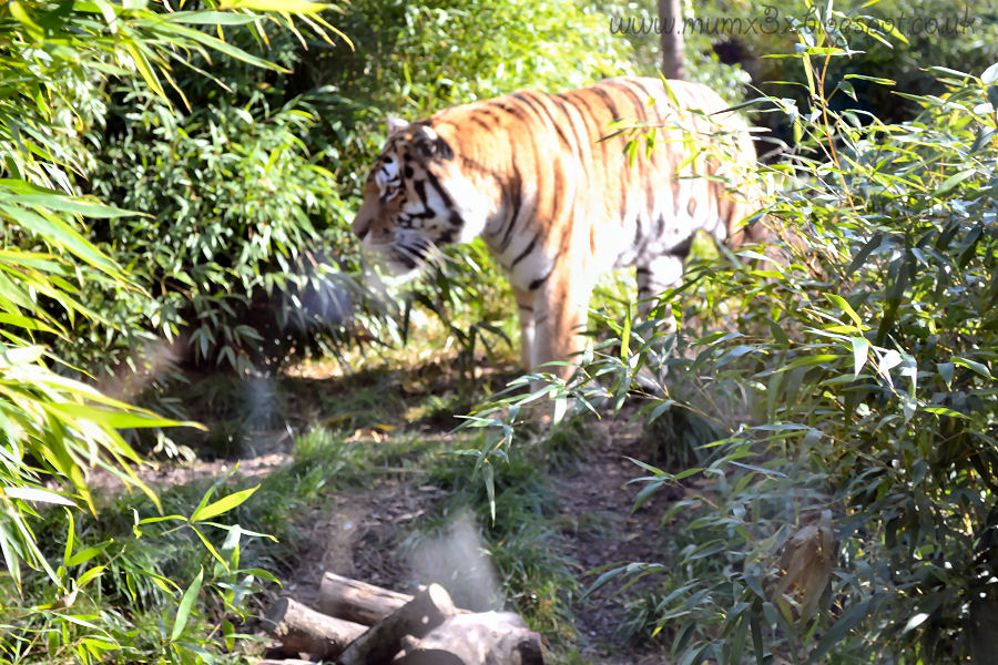 Tiger at colchester zoo @ ups and downs, smiles and frowns