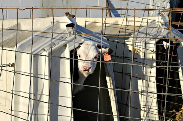 Johanna and Valentine, Holstein calves at Whispering Pines dairy farm