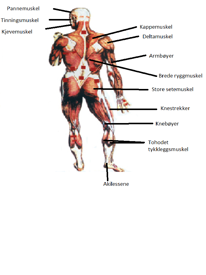 gamle kåte muskler i kroppen navn