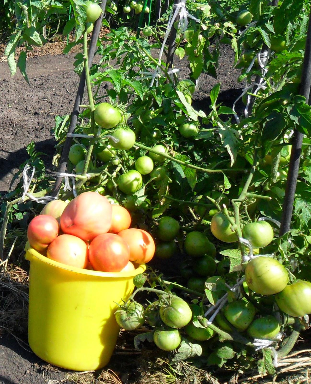 10.08. Спелые помидоры собираю регулярно.