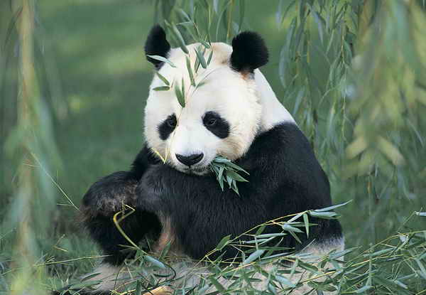 to develop rapidly  the giant panda faces a number of clear threats