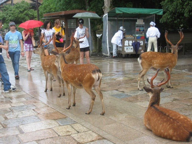 Nara, el paraíso japonés de los ciervos.