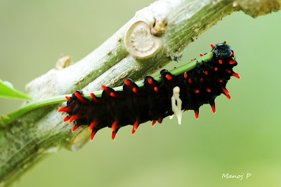 Caterpillar of  Crimson Rose  Butterfly