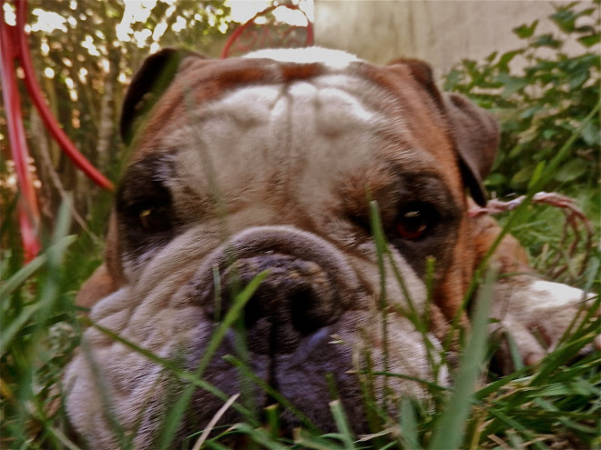 Dozer, the bulldog