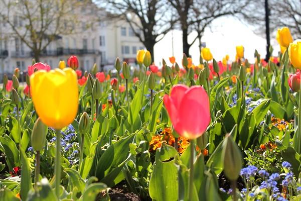 Fleurs Tulipe Jaune Rouge