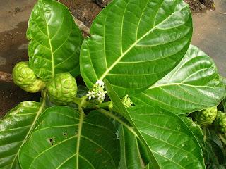 Leaves of Morinda (Noni fruit)