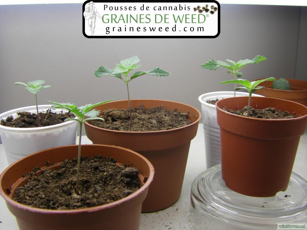 Pousser du cannabis pot et transplantation de cannabis for Plante 5 doigts bahamas