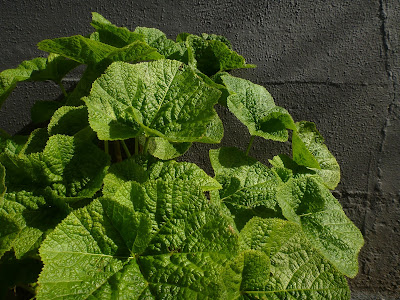 Alcea rosea (Common Hollyhock) leaves