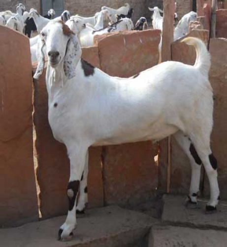 Agro Farming Business In India: Goat breeds suitable for ...