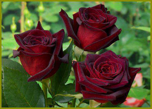 lovely red rose wallpaper image