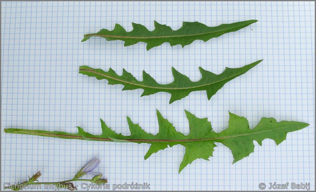 Cichorium intybus leaf from the top  - Cykoria podróżnik  liść z wierzchu