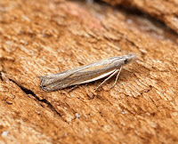 Latest New Micro Moth Species - Sophronia semicostella