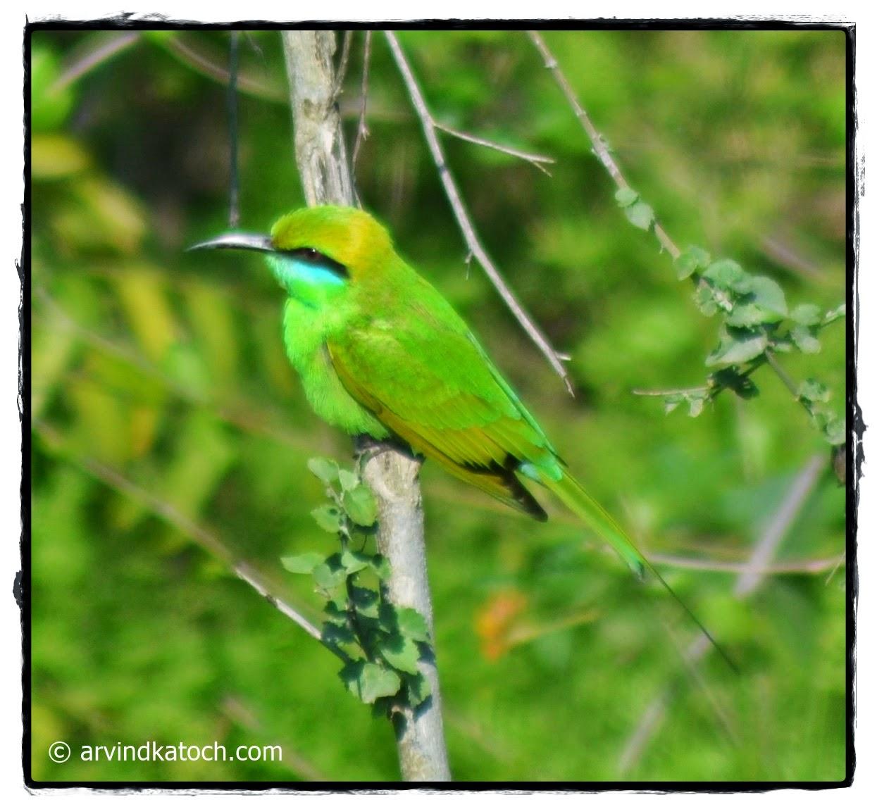 Bee-eater, Bird, Green Bee-eater