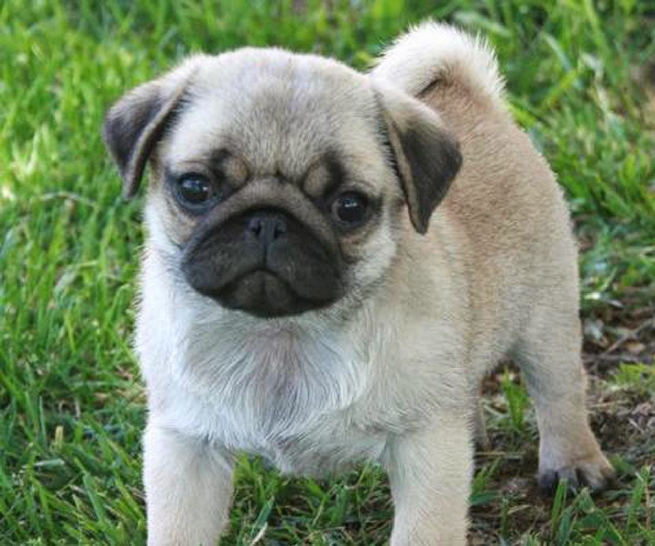 Rules of the Jungle Pug puppy