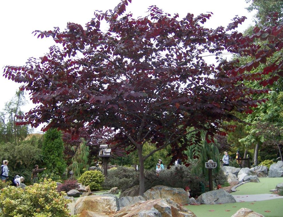 The 2 minute gardener photo forest pansy redbud cercis for Flowering ornamental trees zone 5