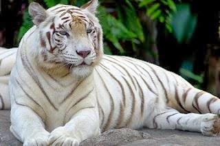 White Tiger .